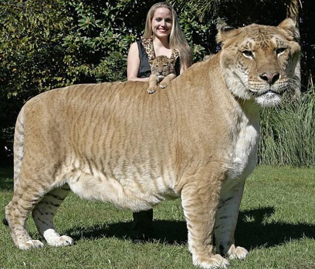 самый большой в мире лигр геркулес